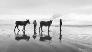 Anes sur une plage en Normandie
